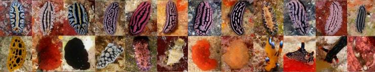 nudibranchs2