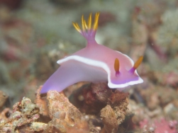 Nudibranch addiction