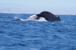 Humpback whale survey
