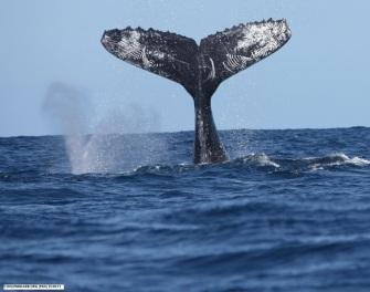 Whale photo ID